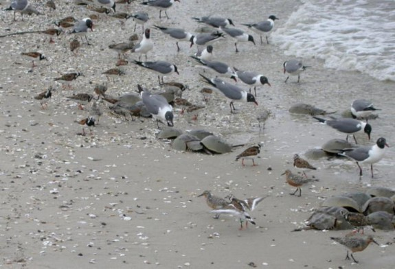 Cape May Shorebird and Horseshoe Crab Festival, Cape May, New Jersey