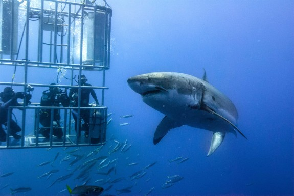 Dive with White Shark
